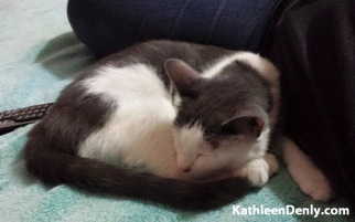 Ana - Gray and white cat curled up beside Kathleen Denly on a soft turquois blanket. Photo by Kathleen Denly