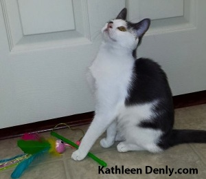 Ana - gray and white cat looks up with pa over cat toy on the ground in front of her. Photo by Kathleen Denly