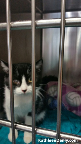 Black & white kitten, Athena, in her cage at the shelter. Photo by Kathleen Denly