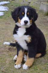 Burnese Mountain Puppy - Mostly black with tan splotches, a white belly, white toes, white snout, a white-tipped tail and a white strip running up between the eyes.