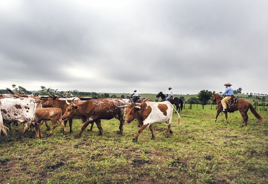 cattle-drive-793676_1280